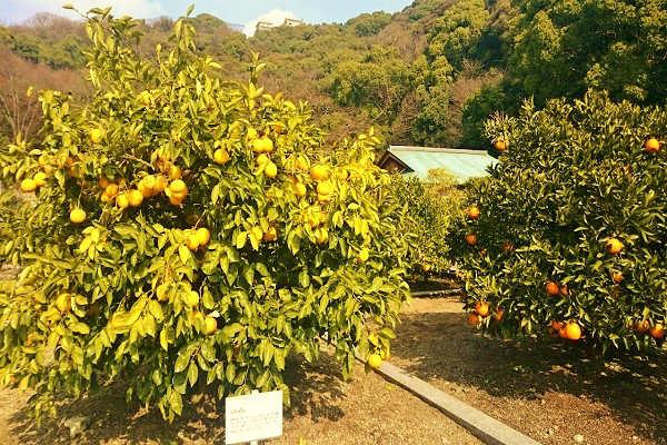 表御殿跡 柑橘・草花園